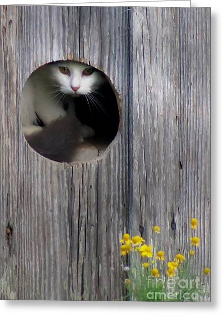 Barn North Carolina Greeting Cards - Barn Kitty Greeting Card by Benanne Stiens
