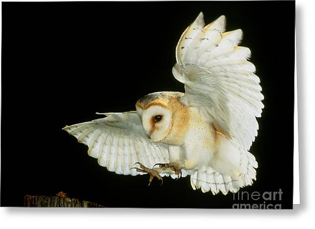 Airborne Greeting Cards - Barn Owl Greeting Card by Andy Harmer and SPL and Photo Researchers