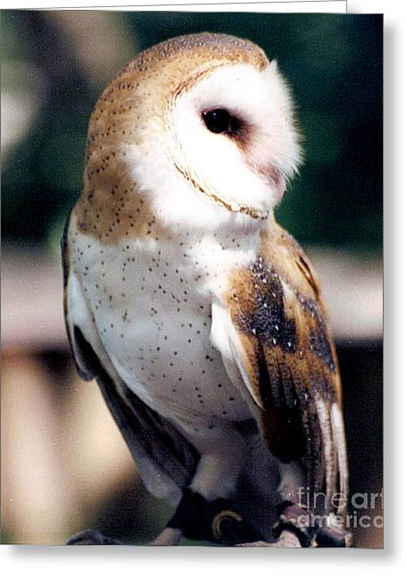 Audubon Zoo Greeting Cards - Barn Owl Greeting Card by Michelle Mark