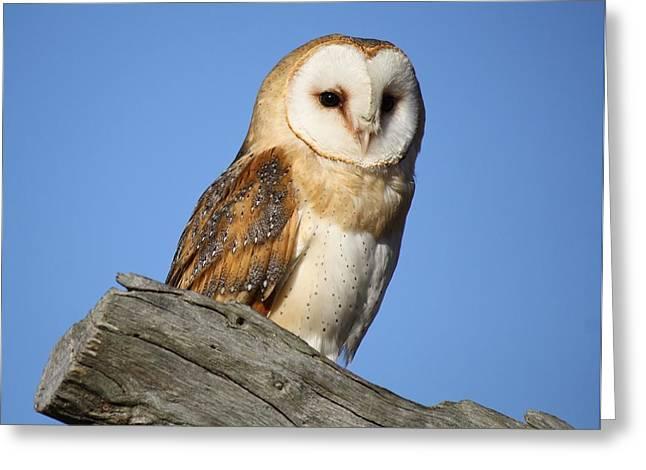 Barn Owl Greeting Card by Paulette Thomas
