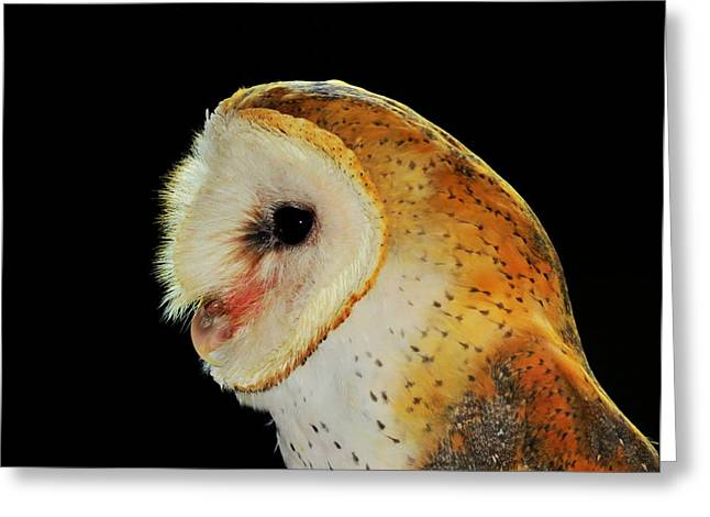 Wildlife Imagery Greeting Cards - Barn Owl Profile Greeting Card by Ramona Johnston