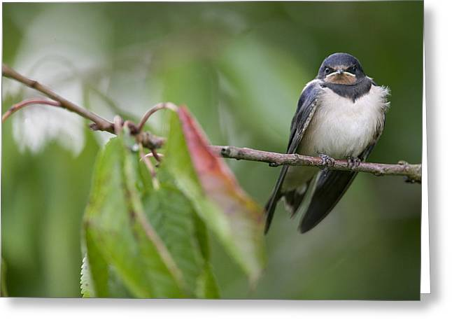 Swallow Chicks Greeting Cards - Barn Swallow Hirundo Rustica Fledgling Greeting Card by Cyril Ruoso