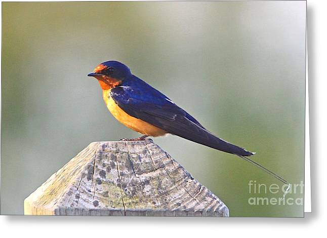 Great Birds Mixed Media Greeting Cards - Barn Swallow Greeting Card by Robert Pearson