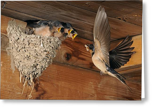 Swallow Chicks Greeting Cards - Barn Swallows at Nest Greeting Card by Scott  Linstead
