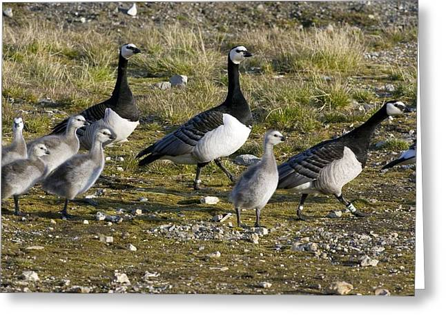 Branta Greeting Cards - Barnacle Geese With Chicks Greeting Card by Dr Juerg Alean