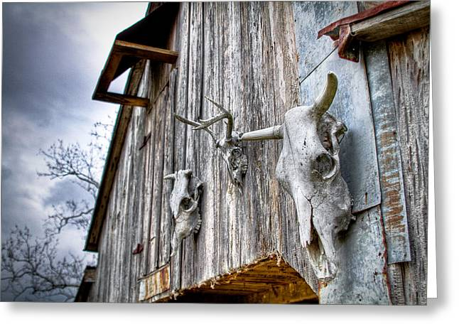 Steer Greeting Cards - Barnstorm Greeting Card by Pixel Perfect by Michael Moore