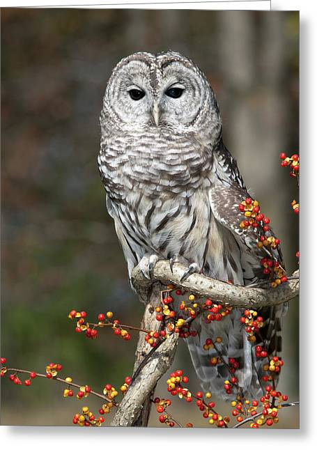 Barred Owl And Bittersweet Greeting Card by Cindy Lindow