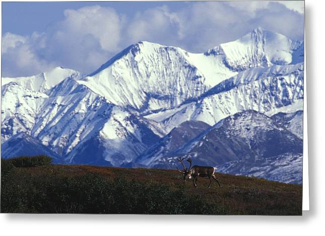 Grazing Snow Greeting Cards - Barren-ground Caribou Rangifer Tarandus Greeting Card by Nick Norman