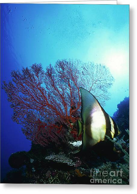 Spadefish Greeting Cards - Batfish And Sea Fan, Palau, Micronesia Greeting Card by Beverly Factor
