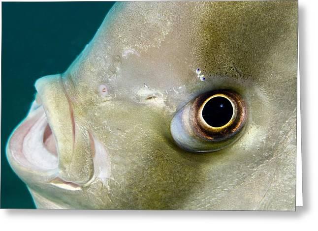 Ephippidae Greeting Cards - Batfish Head Greeting Card by Matthew Oldfield