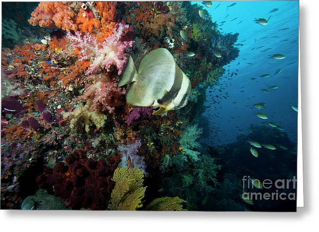 Spadefish Greeting Cards - Batfish, Raja Ampat, Indonesia Greeting Card by Beverly Factor