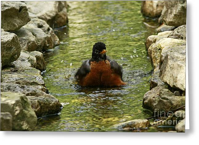 Shelley Myke Greeting Cards - Bathing Beauty American Robin Bathing in a Stream Greeting Card by Inspired Nature Photography By Shelley Myke