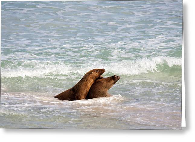 Australian Sea Lion Greeting Cards - Battle for the Beach Greeting Card by Mike  Dawson