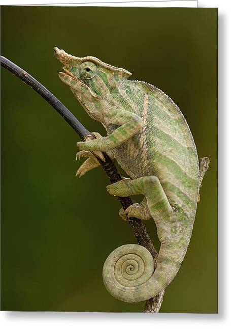 Madagascar National Park Greeting Cards - Baudriers Chameleon Furcifer Balteatus Greeting Card by Pete Oxford