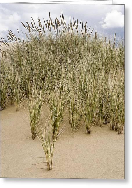 Oregon Dunes National Recreation Area Greeting Cards - Beach grasses at Oregon Dunes Greeting Card by Ed Book