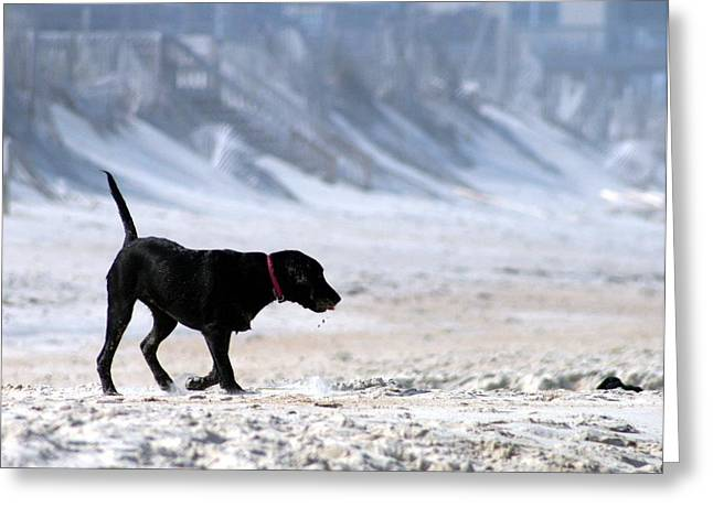 Dog Play Beach Greeting Cards - Beach play Greeting Card by Christopher Hignite