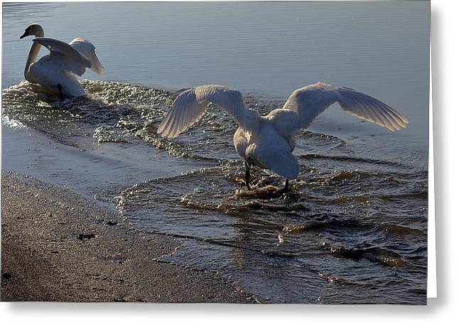 Swans... Greeting Cards - Beach run Greeting Card by Brian Stevens
