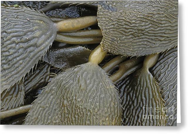 Kelp Greeting Cards - Beached Kelp Greeting Card by Tim Grams