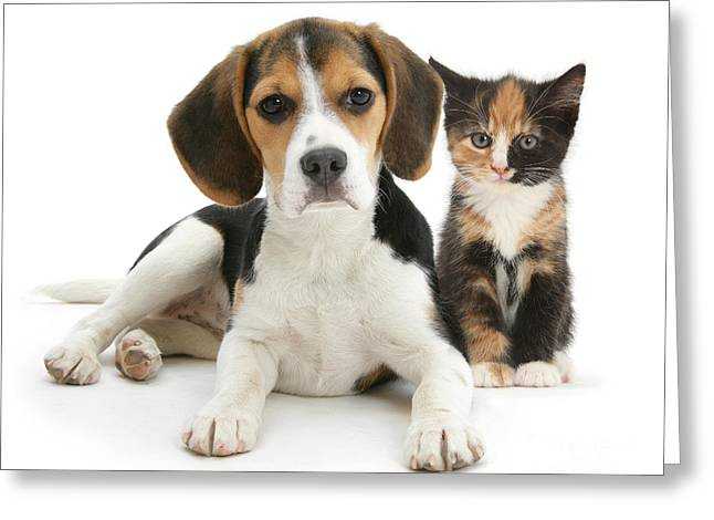 Domesticated Animal Greeting Cards - Beagle And Calico Cat Greeting Card by Mark Taylor