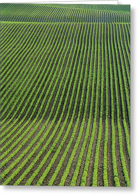 Green Beans Greeting Cards - Bean Field, Holland, Manitoba Greeting Card by Mike Grandmailson