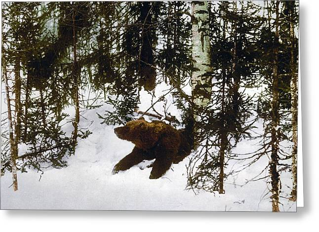 Russian Born Greeting Cards - Bear coming out of his den Greeting Card by International  Images