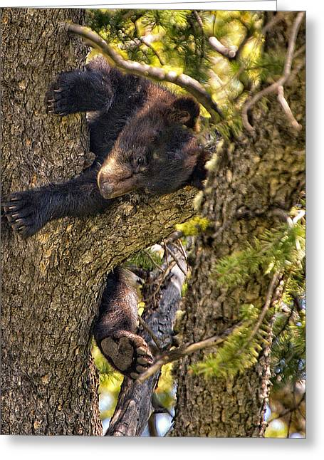 Pine Needles Greeting Cards - Bear Cub Knapping up a Tree Greeting Card by Paul W Sharpe Aka Wizard of Wonders