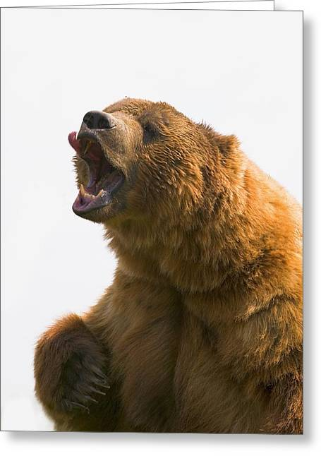 Distraught Greeting Cards - Bear With Tongue Out Of Mouth Greeting Card by Carson Ganci