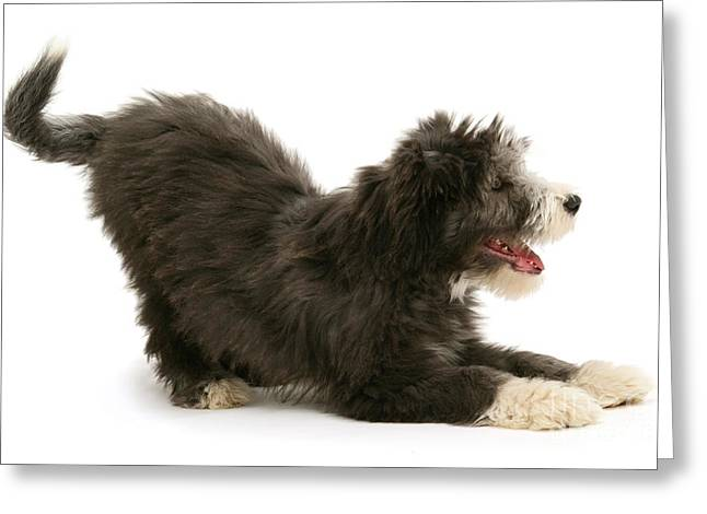 Silhouettable Greeting Cards - Bearded Collie Pup Greeting Card by Mark Taylor
