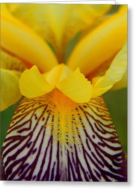 Bearded Iris Greeting Card by Mark J Seefeldt