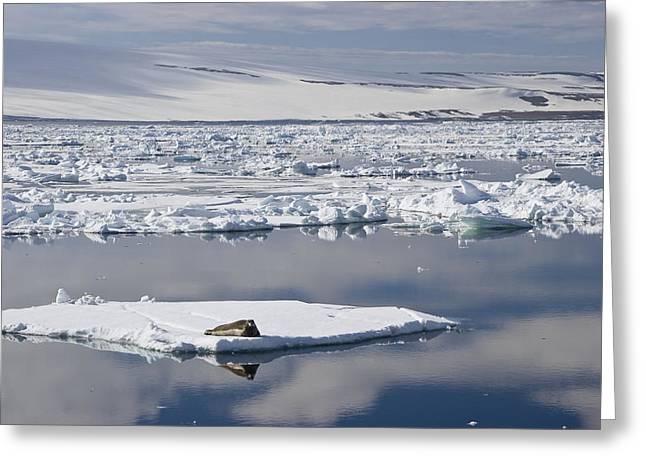 Svalbard Greeting Cards - Bearded Seal Erignathus Barbatus On Ice Greeting Card by Konrad Wothe