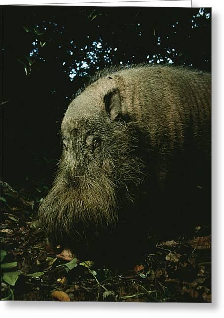 Borneo Island Greeting Cards - Bearded Swine Sus Barbatus Greeting Card by Mattias Klum