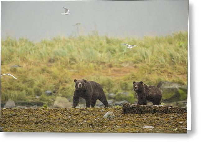 Southeast Alaska Greeting Cards - Bears in the Rain Greeting Card by Tim Grams