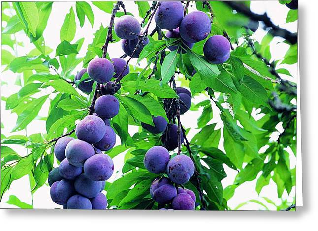Beautiful Blue Plums On The Tree Greeting Card by Lanjee Chee
