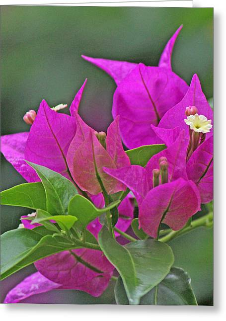Becky Greeting Cards - Beautiful bougainvillea Greeting Card by Becky Lodes