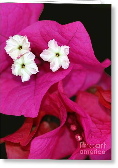 Beautiful Bouganvillea Greeting Card by Sabrina L Ryan