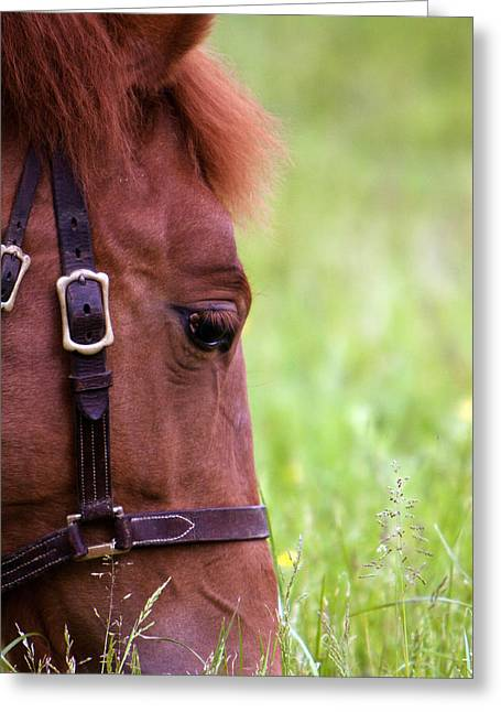 Yearling Horse Greeting Cards - Beautiful Bright Chestnut Foal Grazing Greeting Card by Ethiriel  Photography