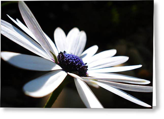 Blossoming Greeting Cards - Beautiful daisy Greeting Card by Sumit Mehndiratta