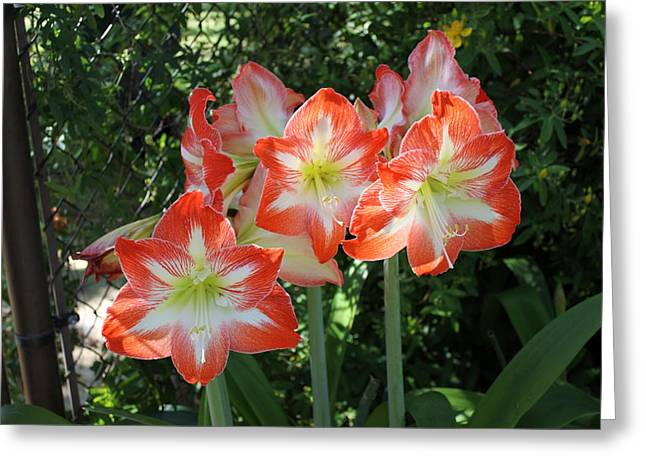 S Amaryllis Greeting Cards - Beautiful Faces Greeting Card by Shawn Hughes