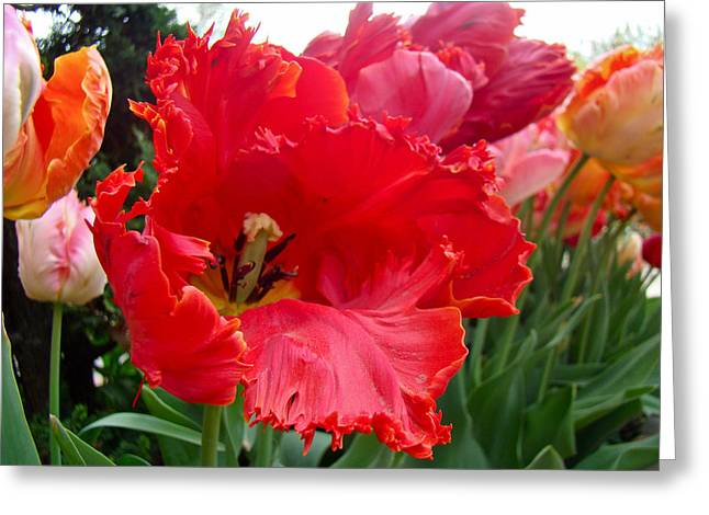 Phillie Photographs Greeting Cards - Beautiful From Inside and Out - Parrot Tulips in Philadelphia Greeting Card by Mother Nature