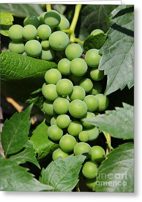 Ripening Fruit Greeting Cards - Beautiful Grapes Greeting Card by Carol Groenen