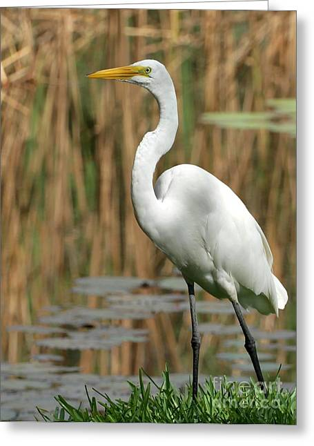Great White Egrets Greeting Cards - Beautiful Great White Egret Greeting Card by Sabrina L Ryan