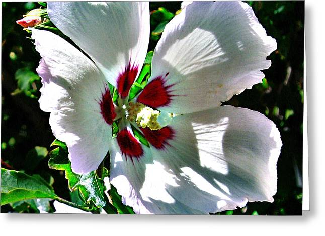 Photos With Red Greeting Cards - Beautiful Hibiscus Greeting Card by Phyllis Kaltenbach