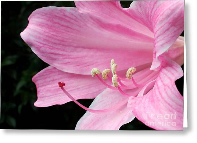 Lily Stamen Greeting Cards - Beautiful Lily in Pink Greeting Card by Kaye Menner
