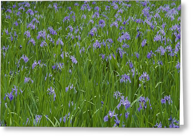 Beautiful Picture Of Irises In Bloom Greeting Card by George F. Mobley