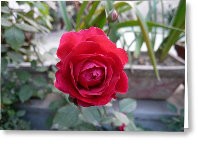 Beautiful Red Rose In A Small Garden Greeting Card by Ashish Agarwal