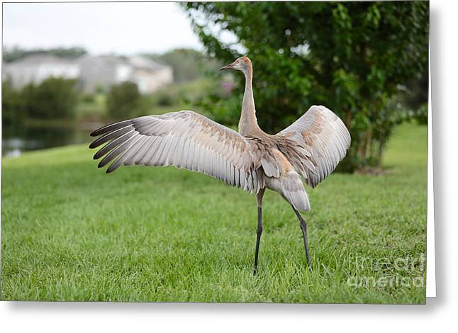 Sandhill Cranes Greeting Cards - Beautiful Sandhill Crane Princess Greeting Card by Carol Groenen