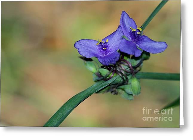 Spiderwort Greeting Cards - Beautiful Spiderwort Greeting Card by Sabrina L Ryan