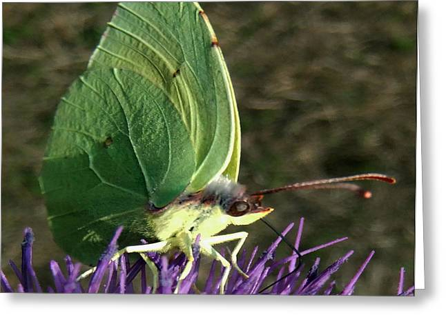 Insect Butterflies Of Lesvos Greeting Cards - Beautiful Spring Greeting Card by Eric Kempson