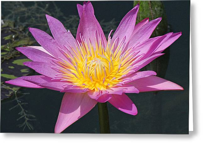 Becky Greeting Cards - Beautiful water lily Greeting Card by Becky Lodes