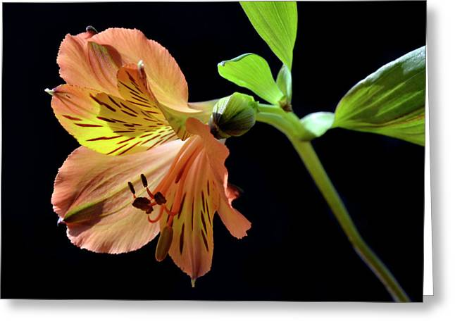 Peruvian Lily Greeting Cards - Beauty And Grace Greeting Card by Terence Davis